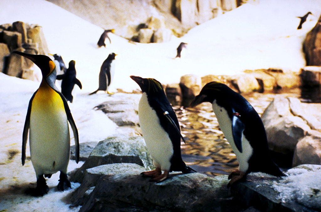 Penguins at the Montreal Biodome