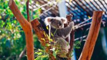 Koala playing on an Australian tree stump