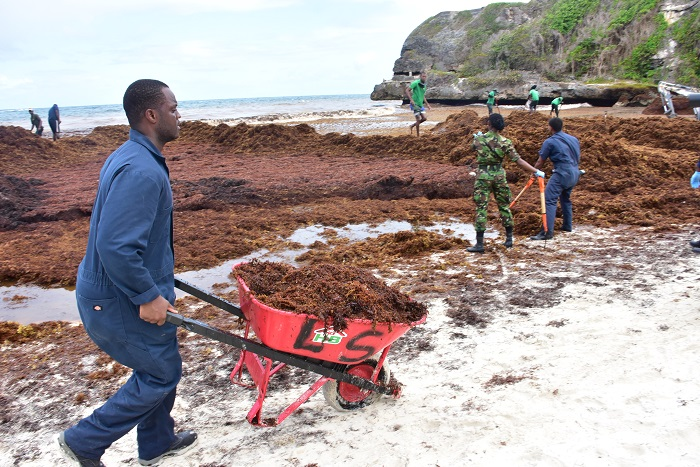 Barbados beach seaweed cleanup
