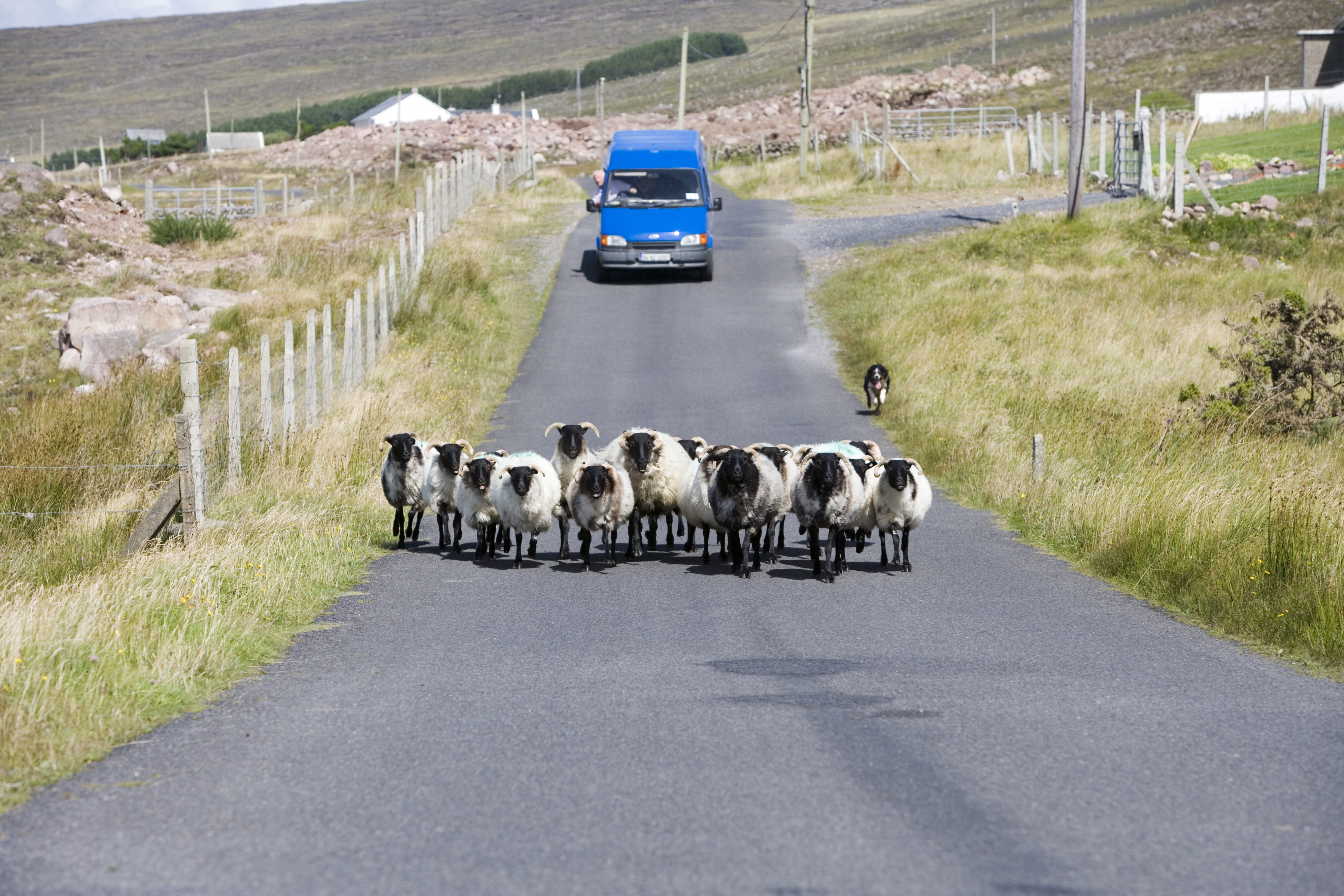 Sheep block the road along the Curraun Peninsula