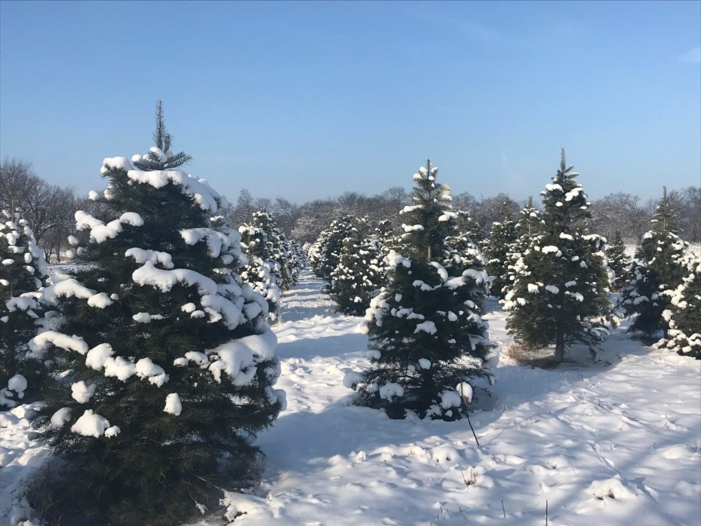 field of Christmas trees