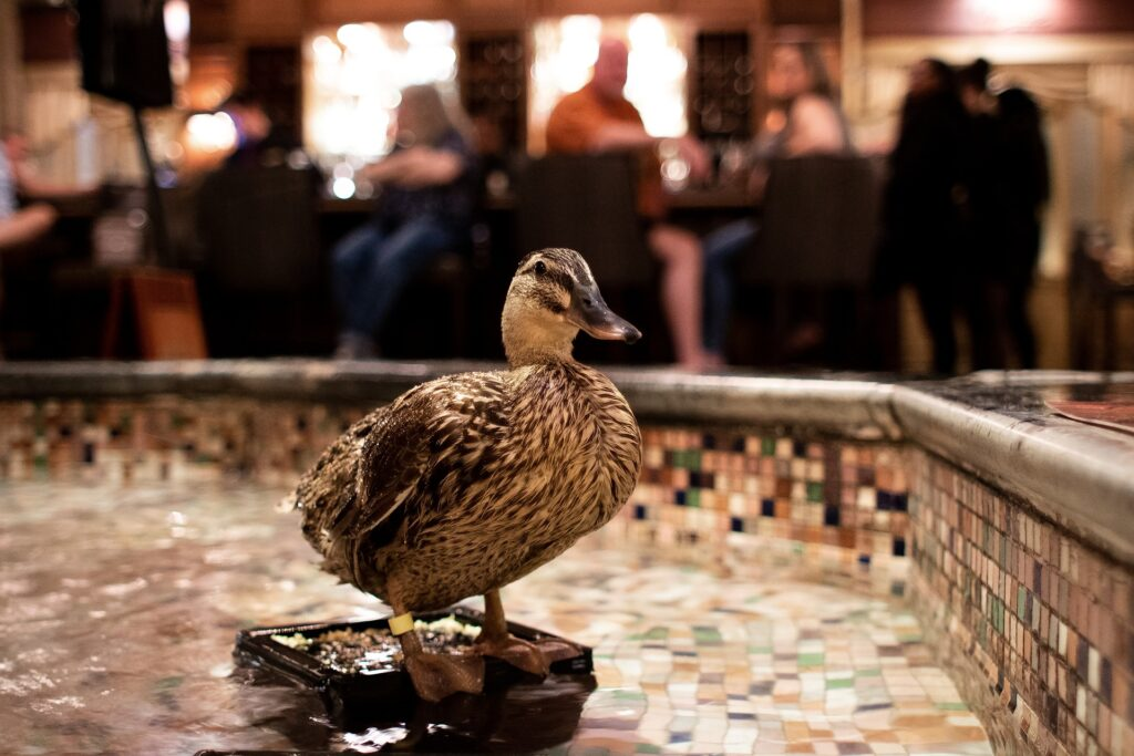 Ducks at the Peabody Hotel lobby fountain.