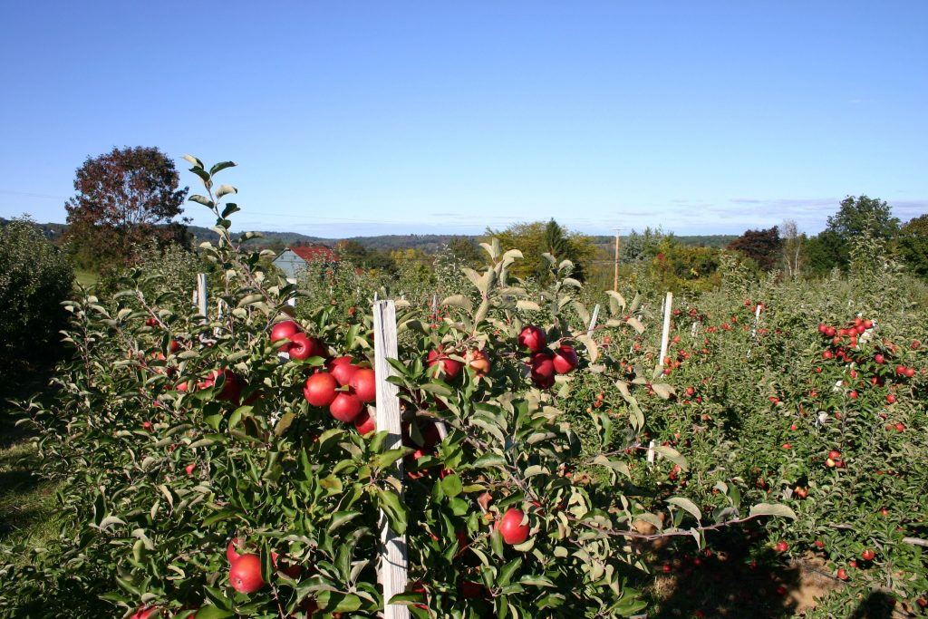 Empire apple orchard