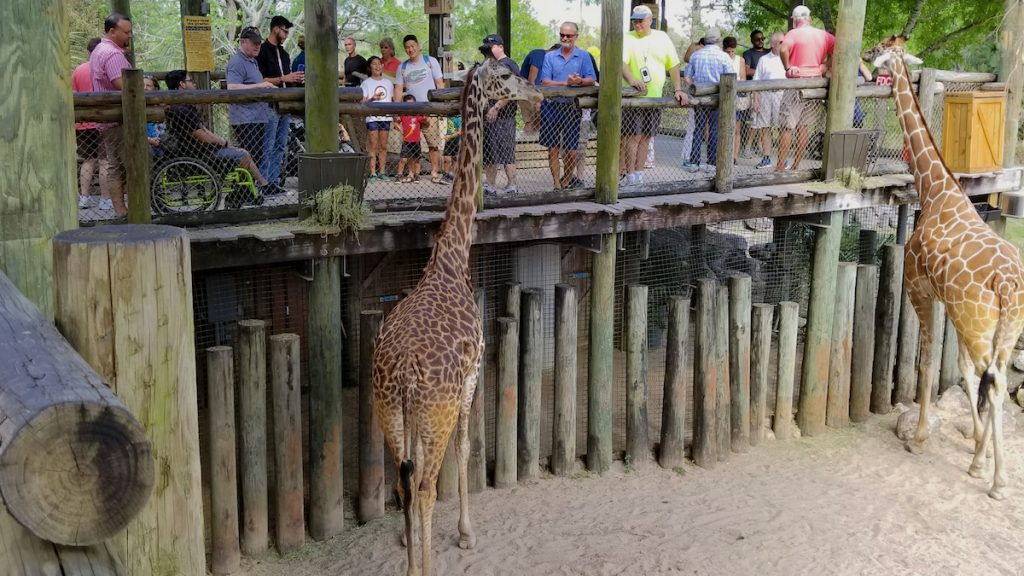 Feeding the Masai giraffes at the Brevard Zoo