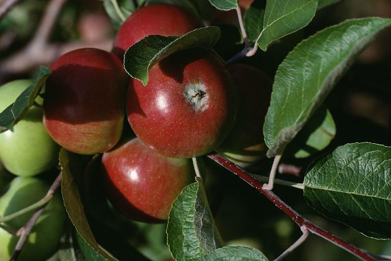 apple cluster
