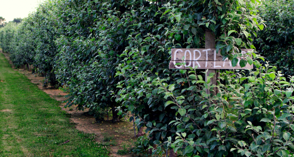 Row of Cortland apples