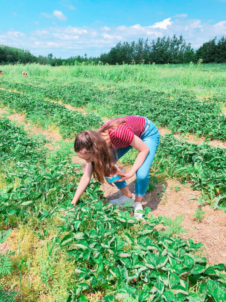 Strawberry picking at Le Ferme Vaillancourt.