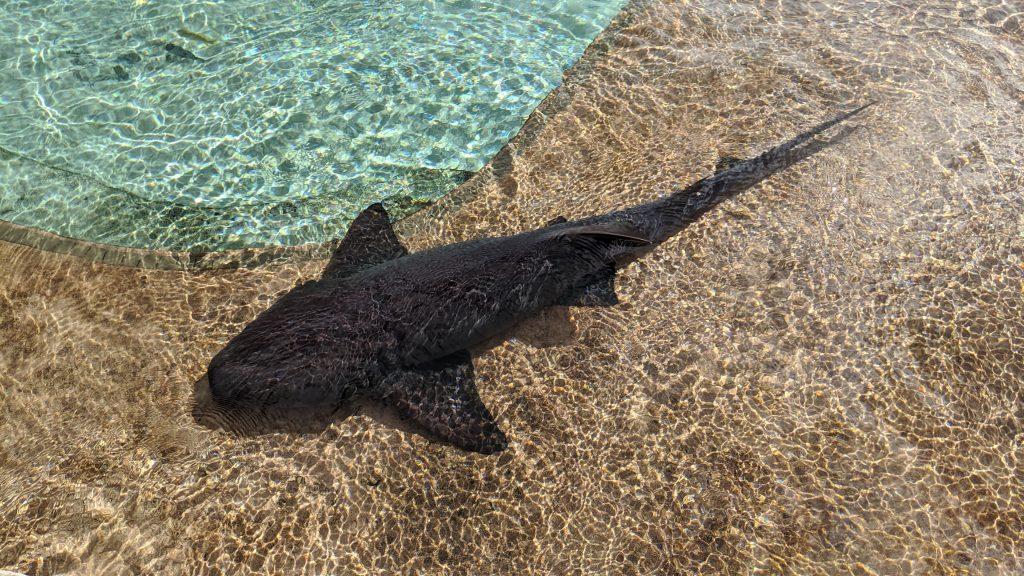 Nurse shark at The Sanctuary for marine animals