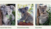 Koalas for adoption at Koala Hospital in Australia