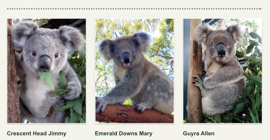 Koalas for adoption at Koala Hospital in Australia