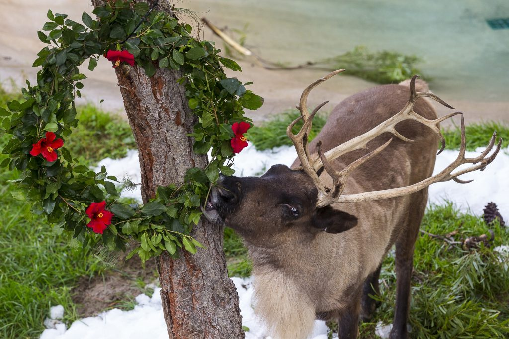 Reindeer eating holiday wreath