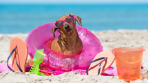 Dachsund dog with sunglasses on the beach.
