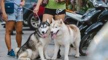 Alaskan malamutes in parking lot