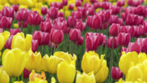 Purple and yellow tulips close up