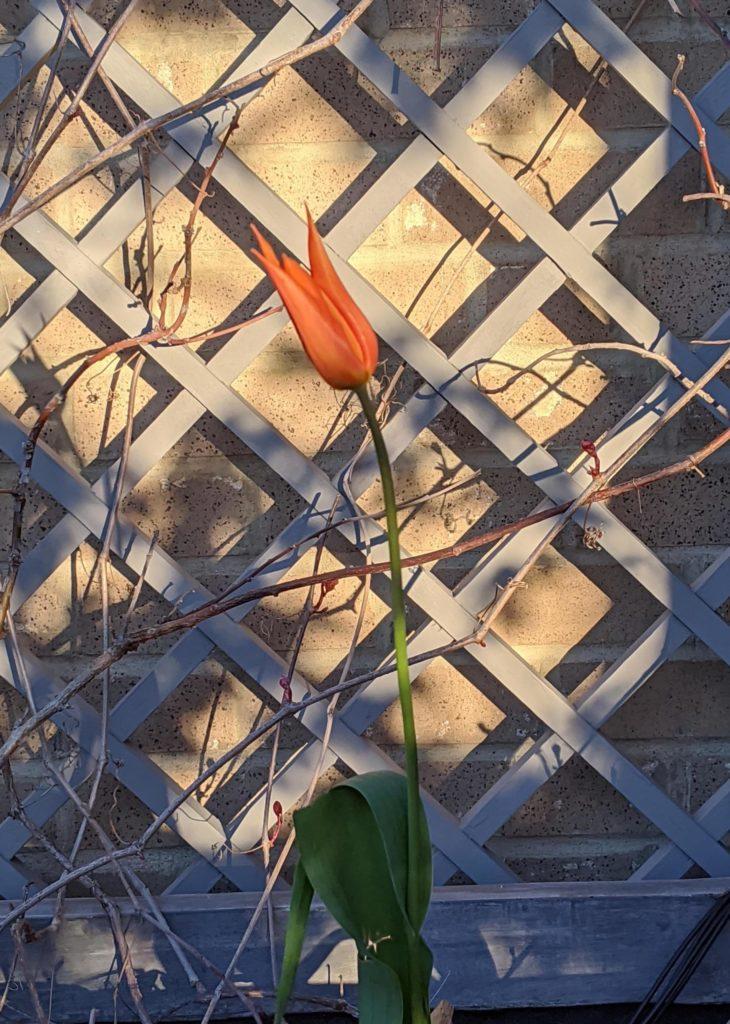 orange tulip in front of trellis
