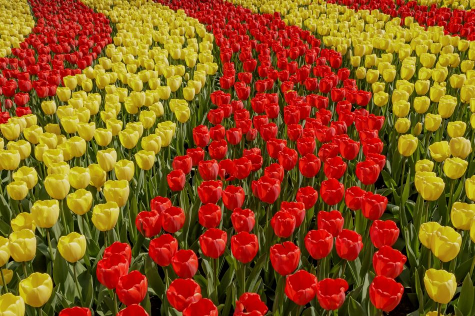 yellow and red tulips at Keukenhof Gardens