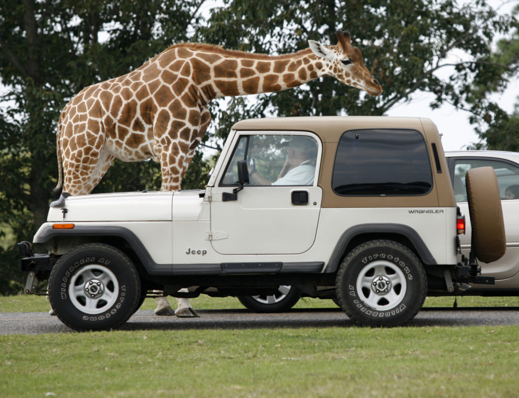 Jeep stops to study giraffe at Six Flags Great Adventure