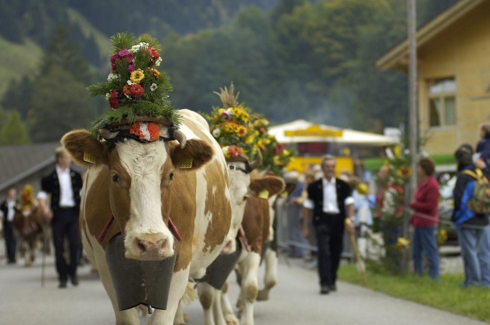 The Desalpe parade in St. Cergue as cattle descend from summer pastures in Switzerland.