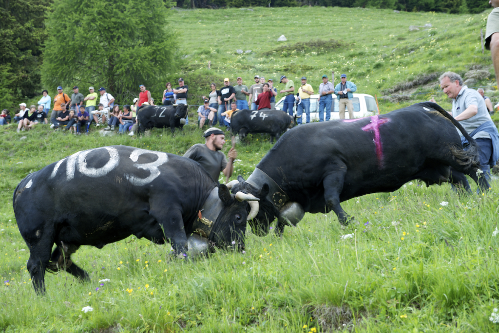Cows fighting for herd dominance in Valais. Photo by Francois Perraudin.