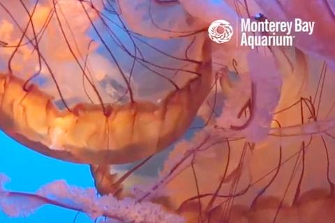 Monterrey Bay aquarium jellyfish webcam