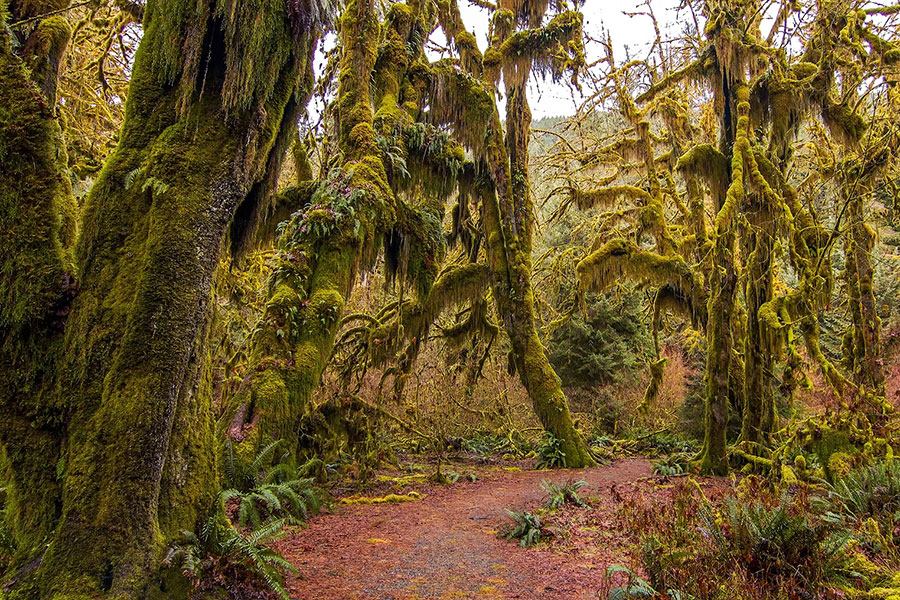 Hoh Rain Forest on Olympic Peninsula, Washington