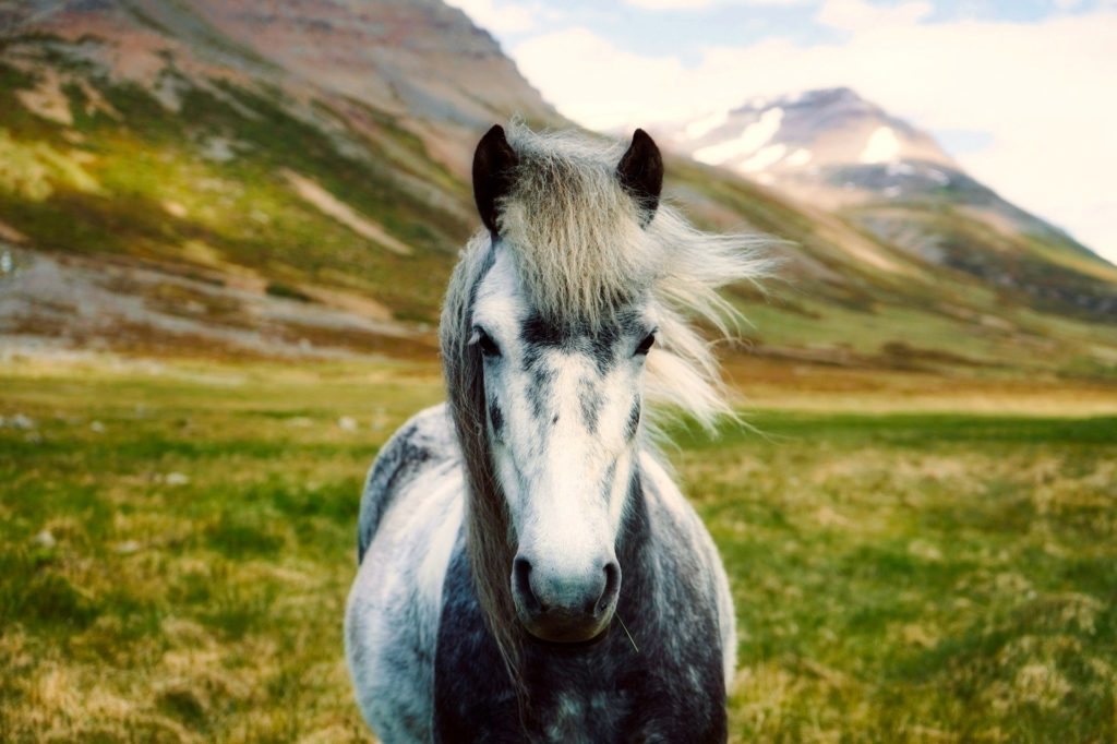 Icelandic pony stands on a field.