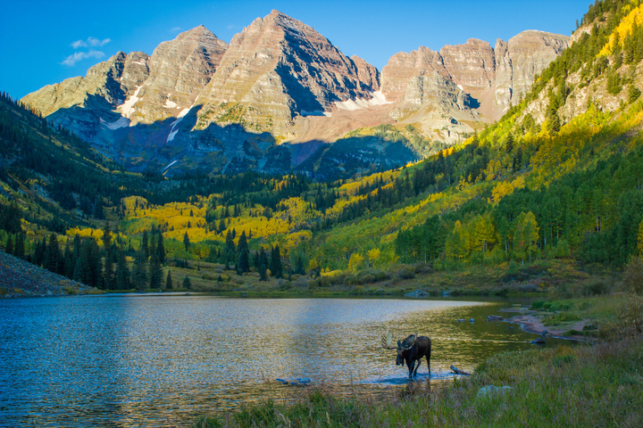 During fall, moose walks through lake with golden aspen trees and Aspen Mountain in the background