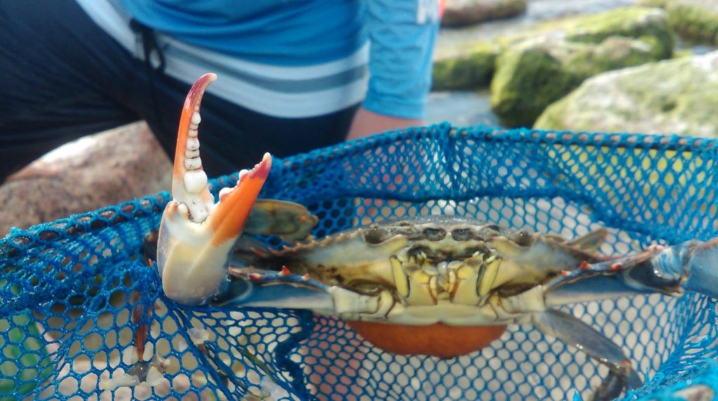 Catching crabs in Mustang Island State Park, Texas