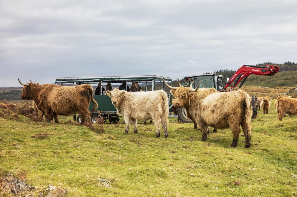 Hairy coos and ewes in a field in Great Britain as tourists look on.
