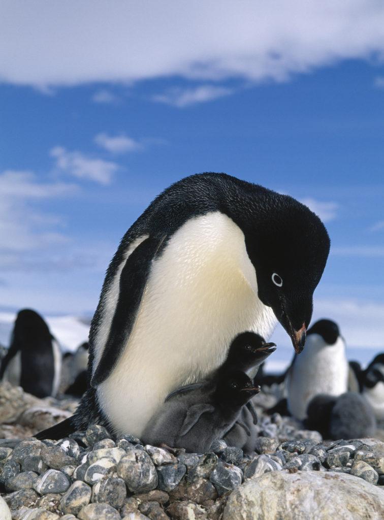 Adelie Penguin nursing her baby penguin chicks on Antarctica.