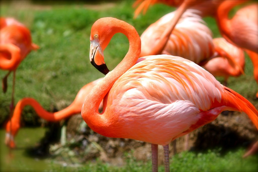 Bright pink flamingos on a lawn