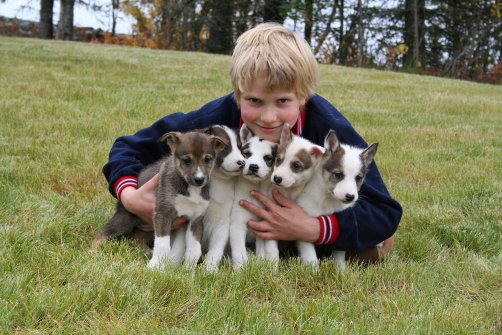 Boy holds an armful of sled dog puppies on a Holland America Line cruise excursion in Alaska.