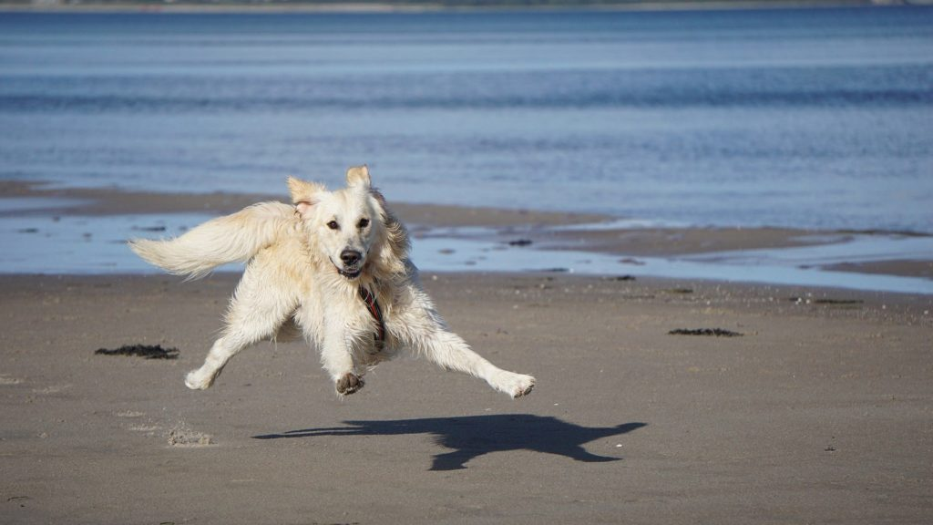 A wet Golden Rtriever puppy jumping on the beach.