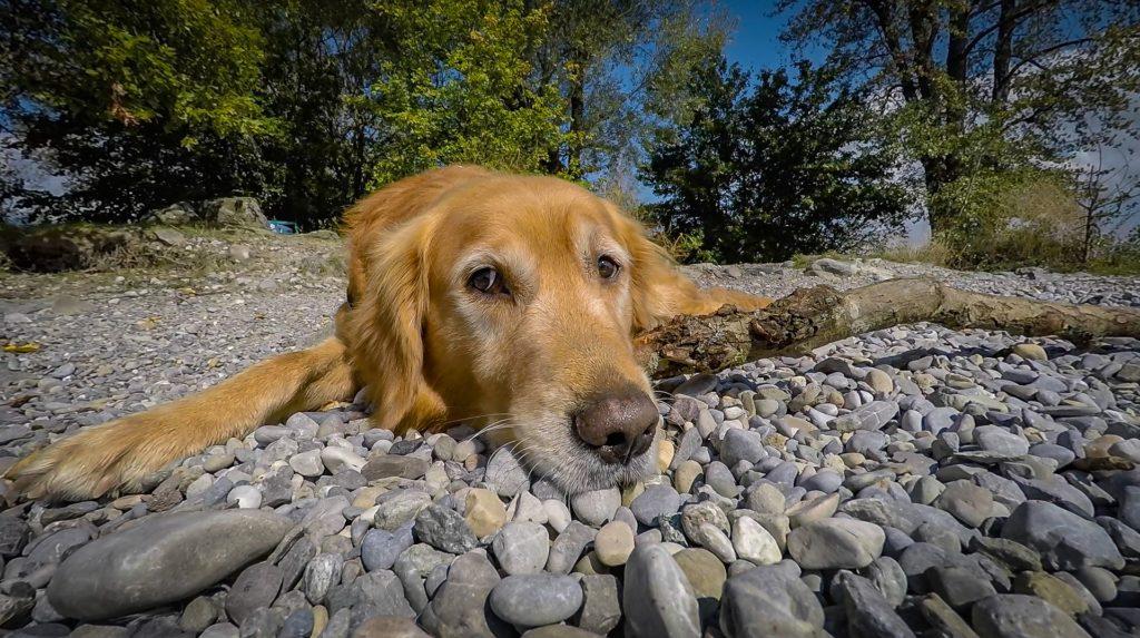 Golden Retriever lying on pebble beach.