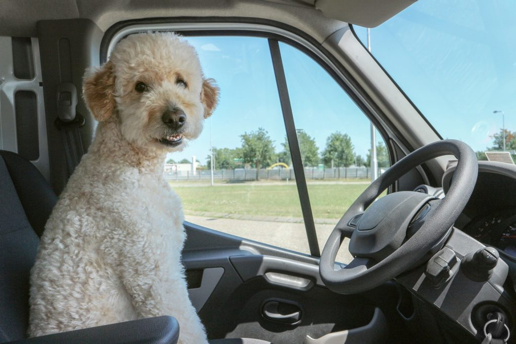 Poodle in the driver's seat of car.