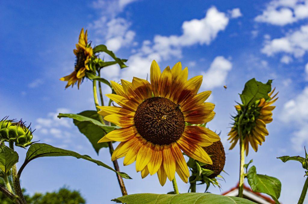 Sunflower growing in Kansas field.