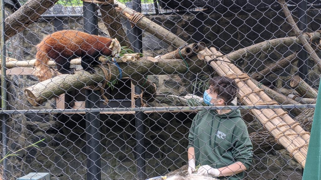 Zookeeper and red panda watch each other in a cage at the Brandywine Zoo.