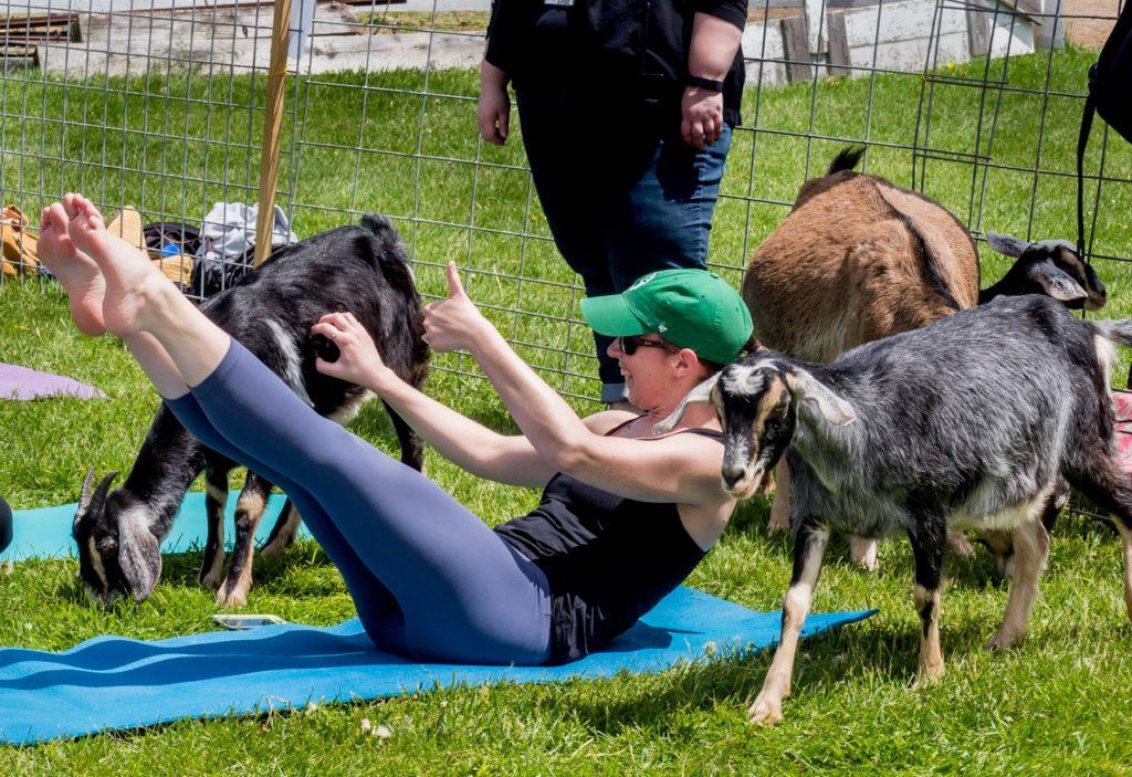 Goat yoga on the lawn at Hancock Shaker Village in Massachusetts
