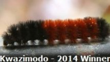 Kwazimodo is the woolly worm that won the 2014 Wooly Worm Festival in North Carolina.