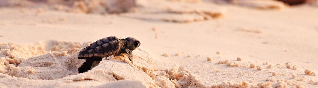 Baby sea turtle crossing the sand to reach the sea in Puerto Vallarta, Mexico.