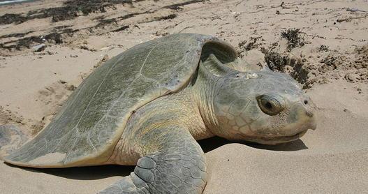 A sea turtle nesting on California beach