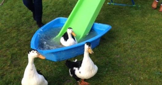 Ducks Exit the Pool