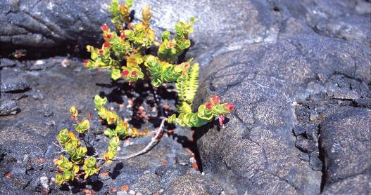 Lava Flowers, Volcanoes National Park, Big Island