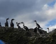 Cormorants on Tuckers Islets