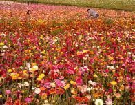 The Flower Fields of Carlsbad bloom in May and June.