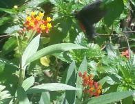 stmartin-hummingbird