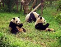 Pandas in a sanctuary in Chengdu, Sichuan