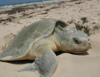 A sea turtle nesting on California beach