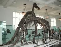 Dinosaur Skeleton at the American Museum of Natural History, New York, NY