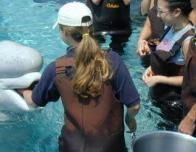 Beluga Whale at Mystic Aquarium, Mystic, CT